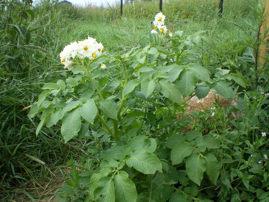 картошка цветет