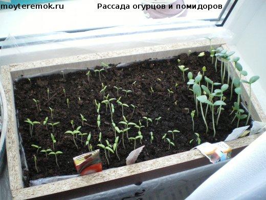 рассада огурцов и помидоров