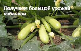 большой урожай кабачков